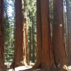 Mammoetbomen en zwarte beren in Sequoia (Californië)