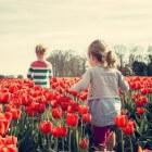 Polderdorp in de ban van de tulp: tweejaarlijkse tulpenpluk