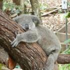 Knuffelen met koala's in Kuranda (Australië)