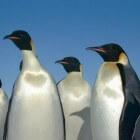 Antarctica, 'wet landing' op Hannah Point met veel pinguïns