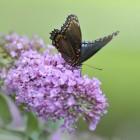 Vlindertuin Vlindorado in Waarland