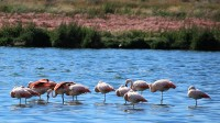 Flamingo's in Laguna Nimez / Bron: Liam Quinn, Wikimedia Commons (CC BY-SA-2.0)