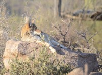 Slapende coyote in het Arizona Sonora Desert Museum in Tucson / Bron: Btcgeek, Wikimedia Commons (CC BY-SA-4.0)
