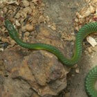Common Bush Snake <STRONG>O</STRONG> / Bron: Silgambia