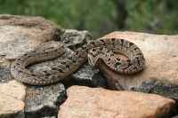 Night Adder <STRONG>G A</STRONG> / Bron: Paul venter / Wikimedia Commons