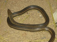 Sand Snake <STRONG>GO</STRONG> / Bron: Ltshears (Trisha M Shears), Wikimedia Commons (Publiek domein)